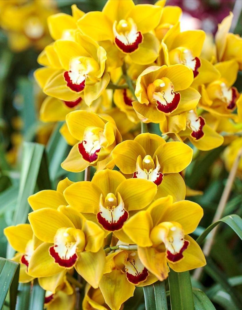 Offre exceptionnelle - Orchidée Cymbidium